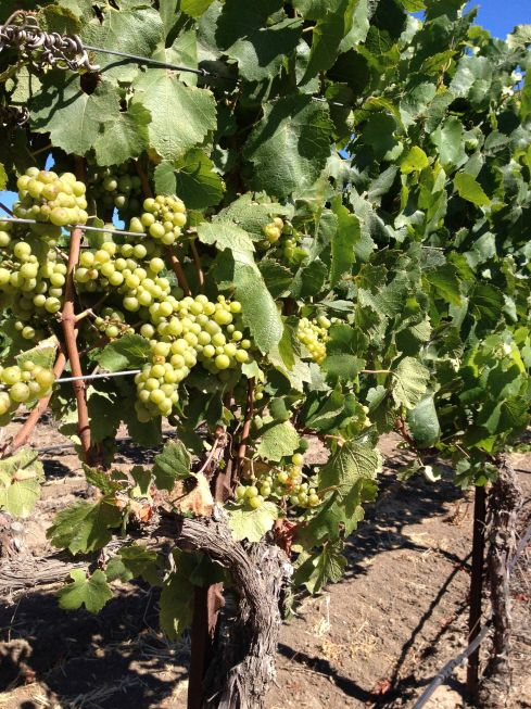 Chardonnay Grape Vine